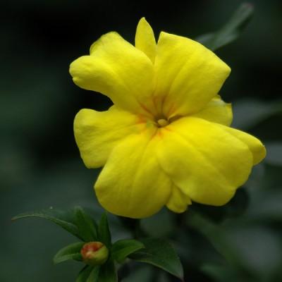 el-jazmin-amarillo-02