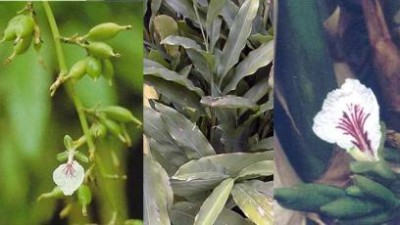 plantas-afrodisiacas-p2-04