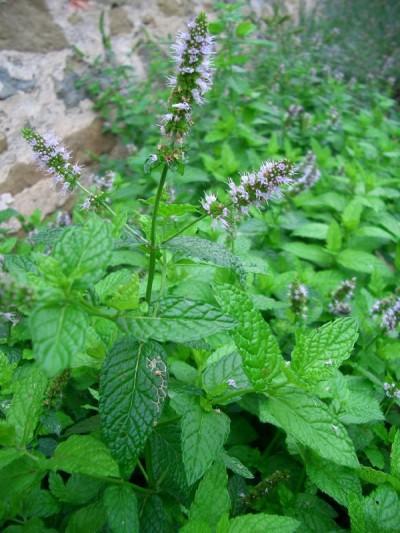 plantas-afrodisiacas-p4-02