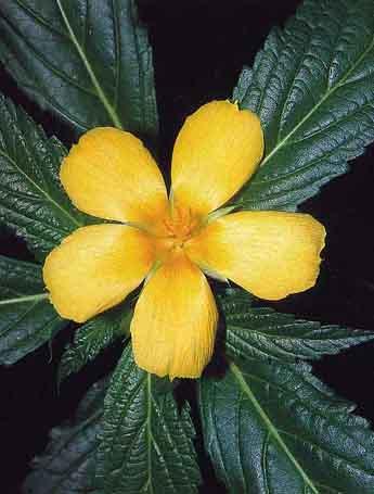 plantas-afrodisiacas-y-sus-estimulos-p3-01