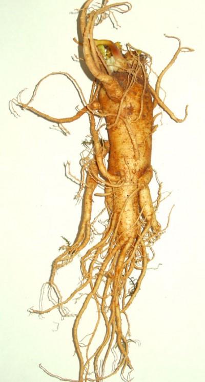 plantas-afrodisiacas-y-sus-estimulos-p3-03
