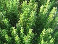 imagen Plantas Afrodisíacas y sus estímulos – Parte IV
