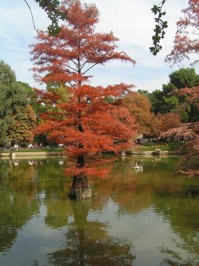 El cipr s calvo arboles for Jardin cipres