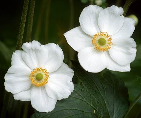 La Anémona, una herbacea perenne que enamora 4