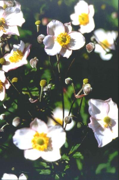 La Anémona, una herbacea perenne que enamora3