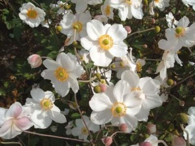 La Anémona, una herbacea perenne que enamora 2