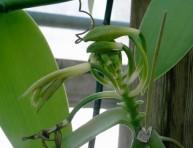 imagen Plantas afrodisíacas y sus estímulos – Parte V