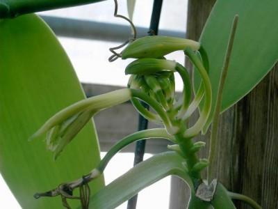 plantas-afrodisiacas-estimulos-p5-03