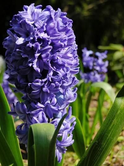El jacinto bulbosas - Jacinto planta cuidados ...