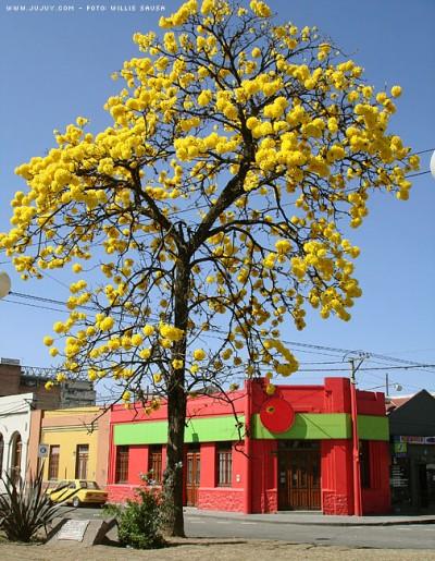El lapacho arboles for Arboles crecimiento rapido hoja perenne