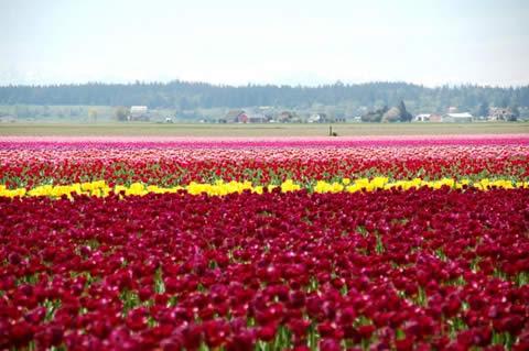 los tulipanes-001