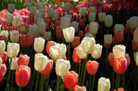 los tulipanes-002