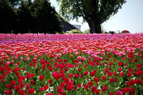 los tulipanes-004