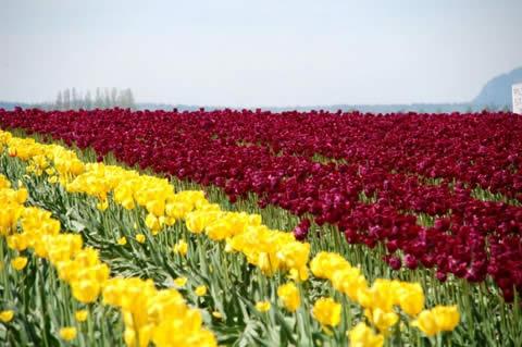 los tulipanes-005