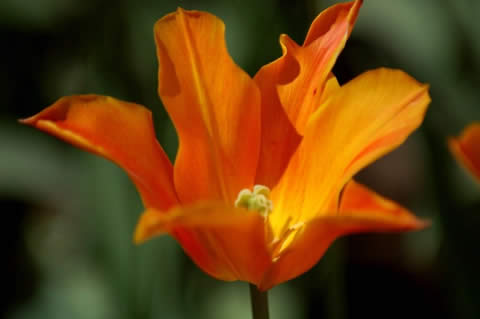 los tulipanes-006