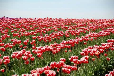 los tulipanes-007