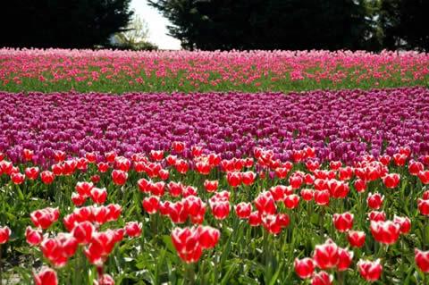 los tulipanes-008