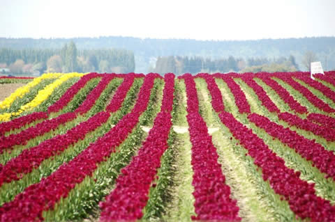 los tulipanes-012