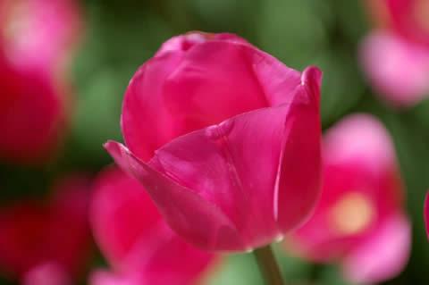 los tulipanes-015