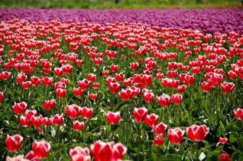 los tulipanes-016
