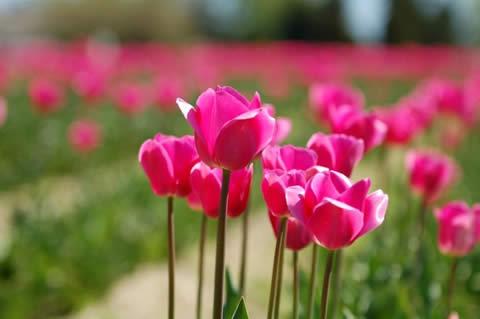 los tulipanes-017