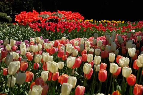los tulipanes-018