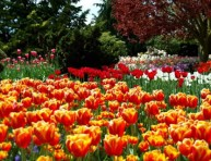 imagen Los hermosos tulipanes