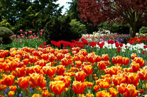 los tulipanes-019