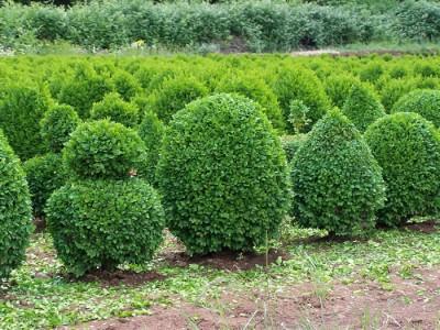 El boj arbustos peque os - Setos de jardin ...