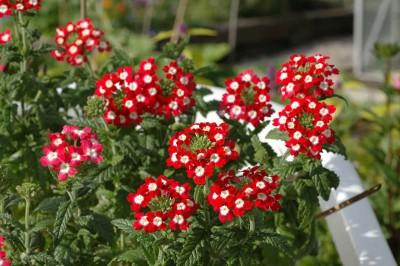 La verbena herbaceas perennes - Planta verbena cuidados ...