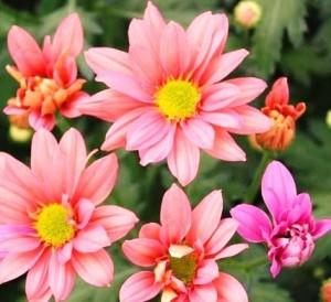 División y multiplicación de las plantas florales perennes