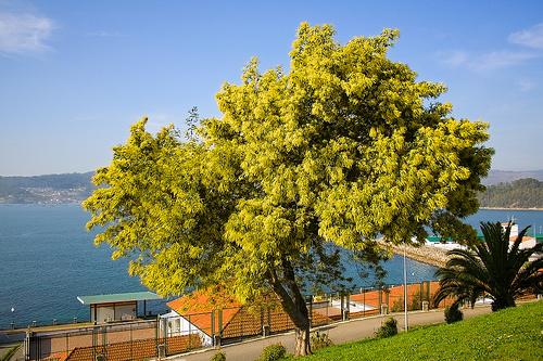 El aromo arboles for Acacia albero