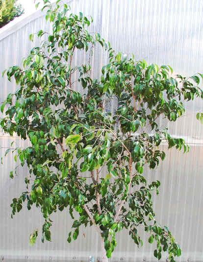 Plantas de Interior_ El Ficus-02