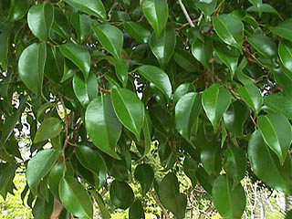 Plantas de Interior_ El Ficus-03