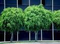 imagen Plantas de Interior: El Ficus