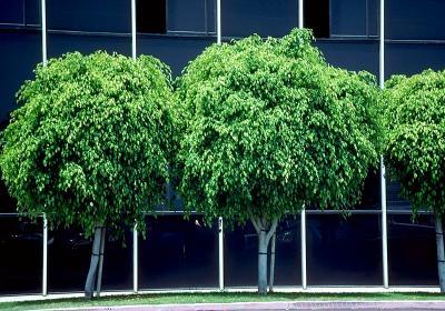 Plantas de Interior_ El Ficus-04