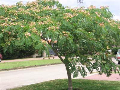 Arboles acacia de constantinopla for Arboles para jardin de hoja perenne