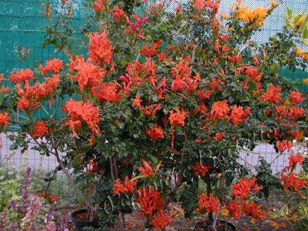 Enredaderas Bignonia Capensis3