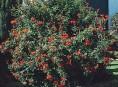 imagen Enredaderas: Bignonia Capensis