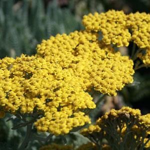 Herbaceas Perennes Achilea1