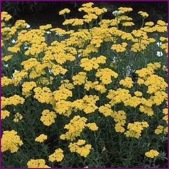 Herbaceas Perennes Achilea2