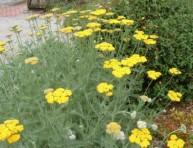 imagen Herbaceas Perennes: Achilea