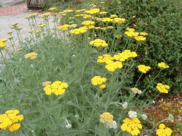 Herbaceas Perennes Achilea5
