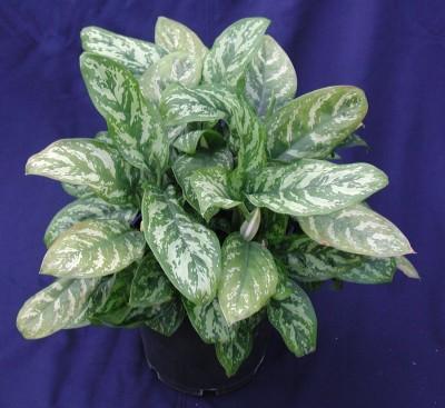 Plantas de interior Aglaonema 1