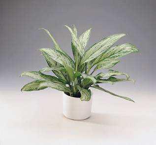 Plantas de interior Aglaonema 2