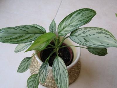Plantas de interior Aglaonema 5