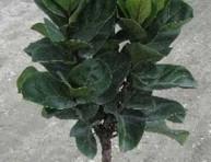 imagen Otras especies y variedades de Ficus