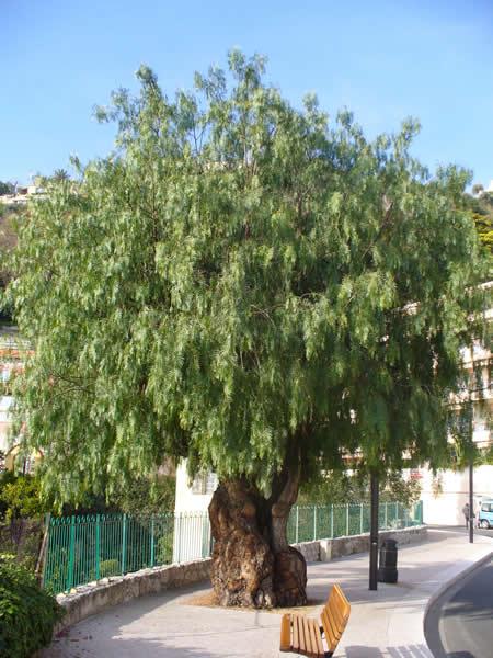 Rboles aguaribay for Poda de arboles zona sur