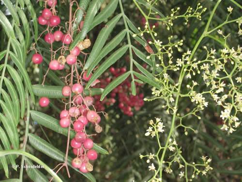 Árboles Aguaribay3