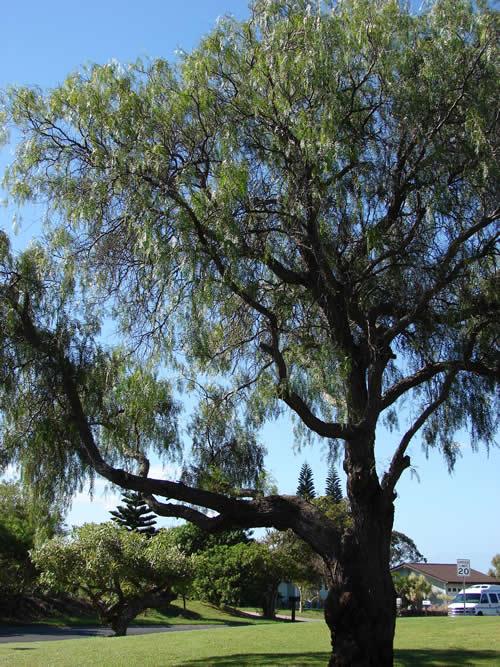 Rboles aguaribay for Arboles para cierre de jardin